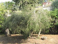 250px-Melaleuca_alternifolia_(Maria_Serena)